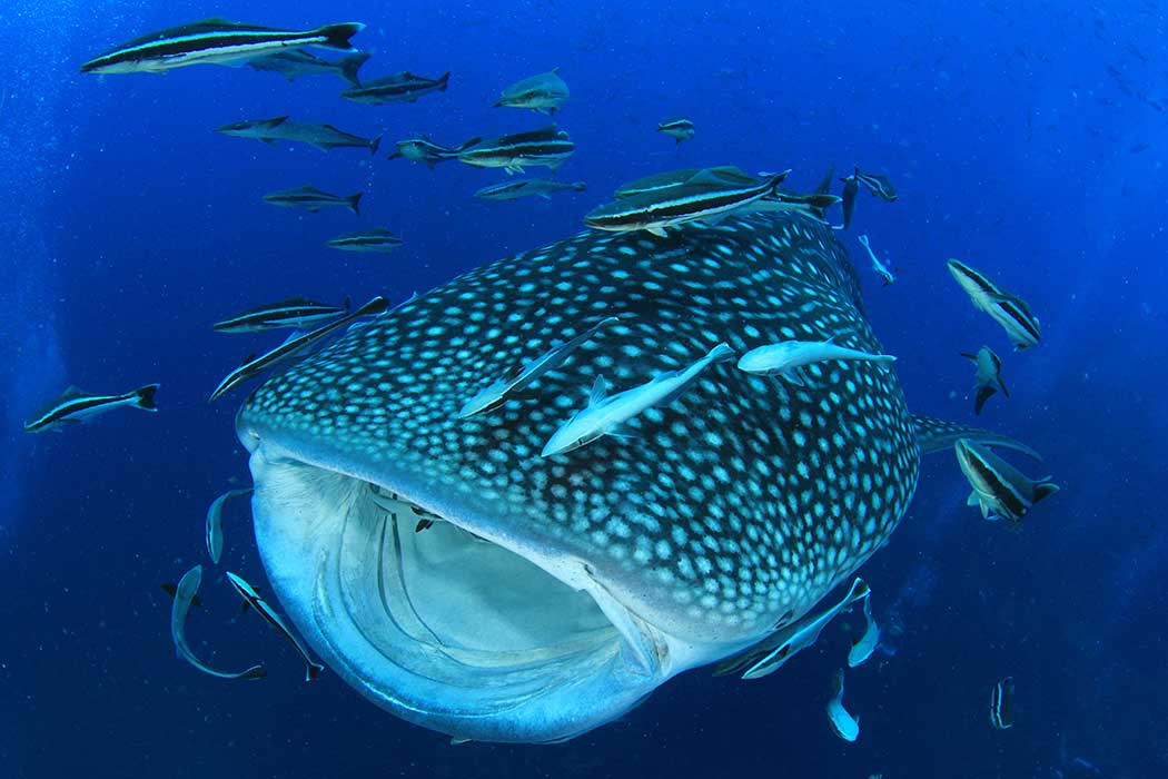 Whale Shark near Holbox