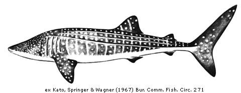Whale Shark Biology