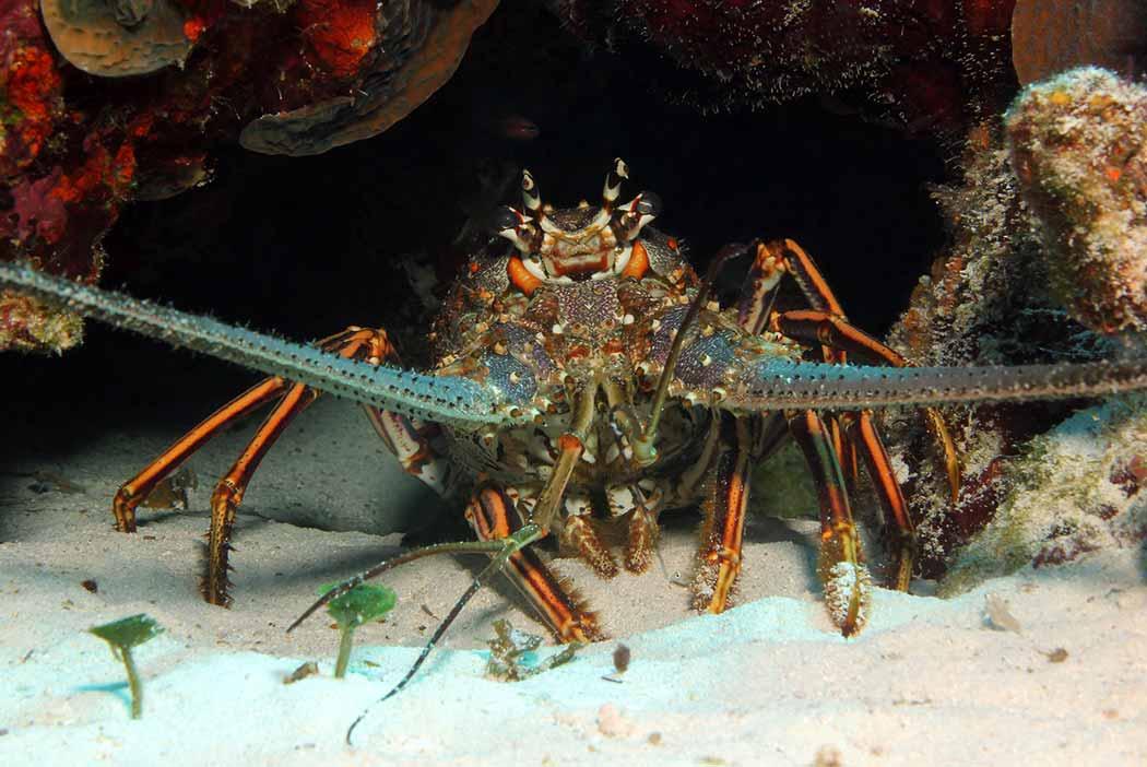 Cozumel Snorkeling Lobster